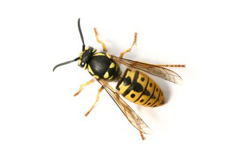 Masters Pest Management provides residential and commercial pest control services for a variety of flying insects in West Virginia.